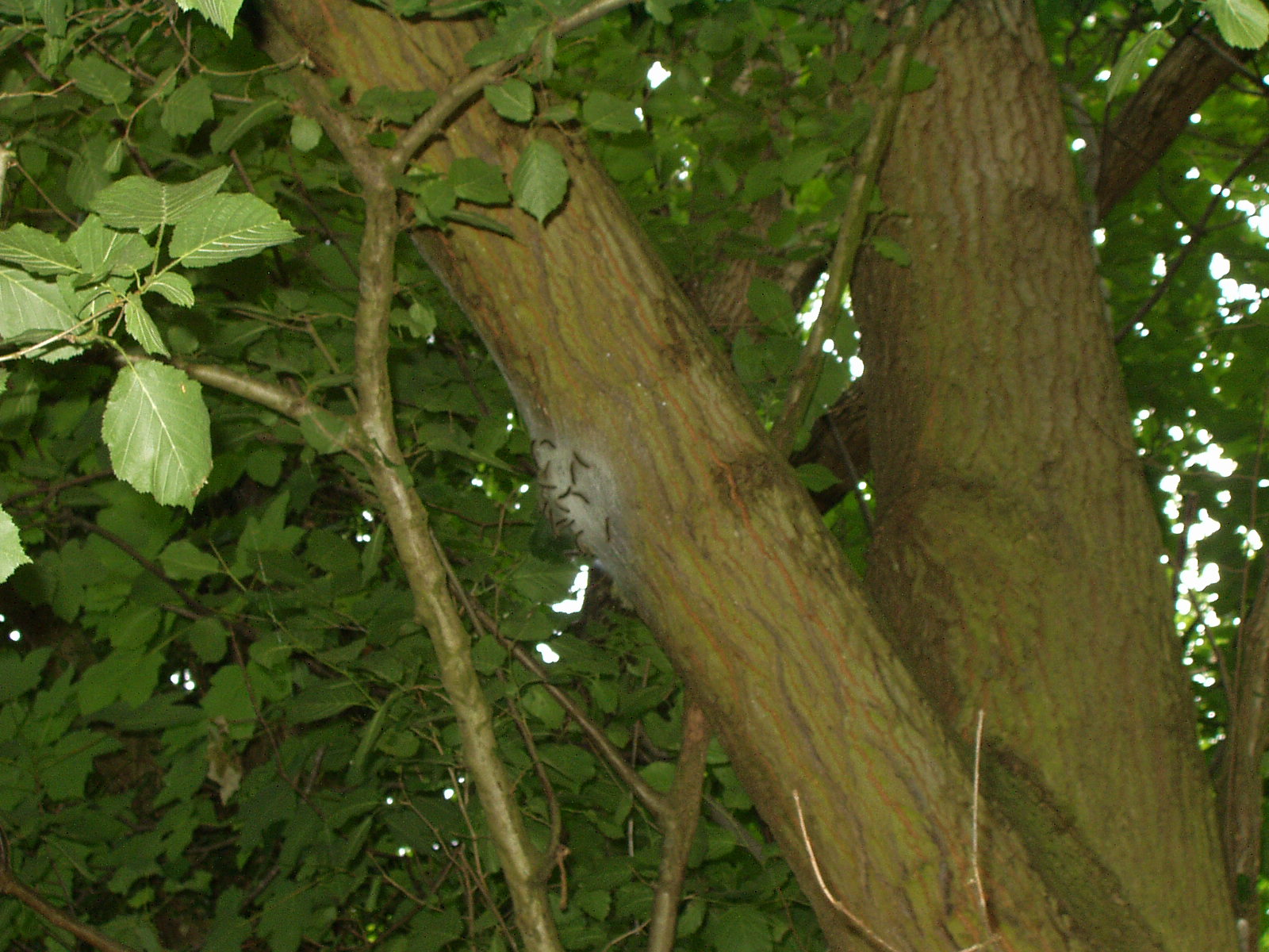 An Oak Processionary Moth nest, high in the canopy of a tree